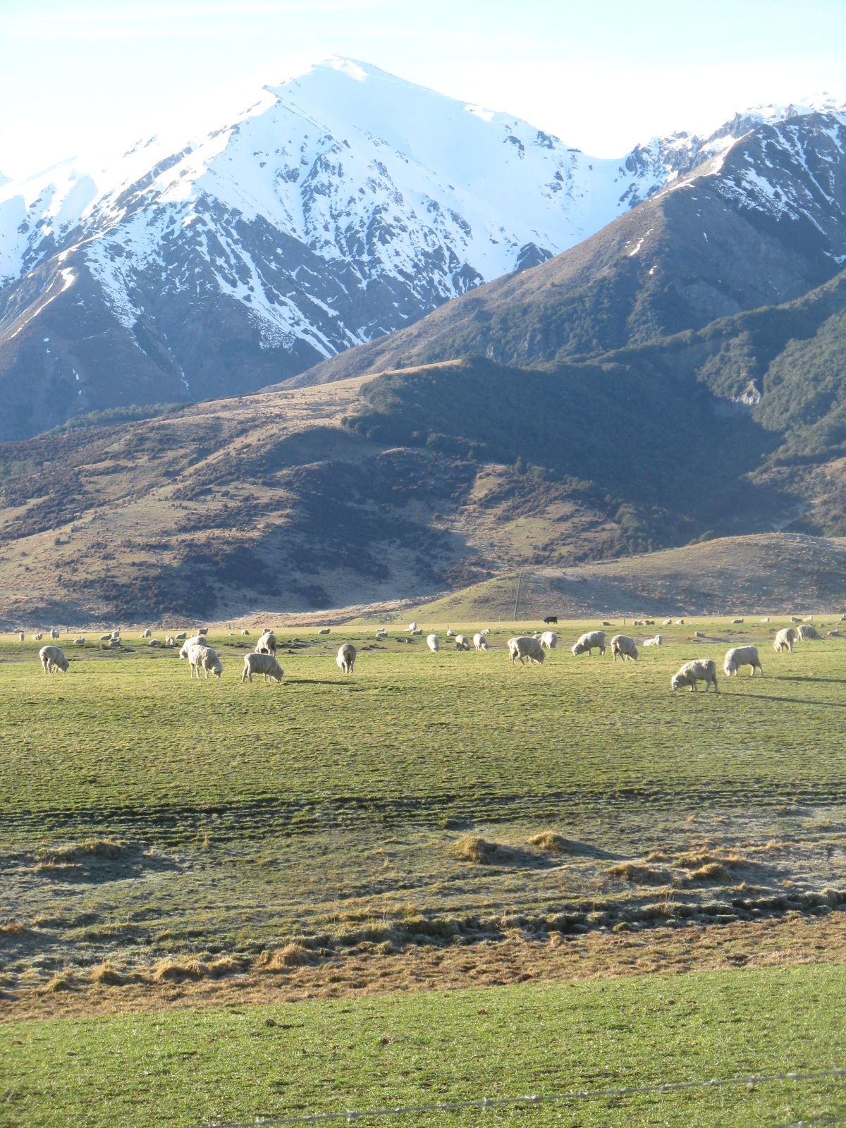 Of course there's tons of sheep in New Zealand