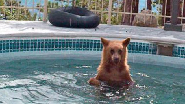 Bear in a swimming pool