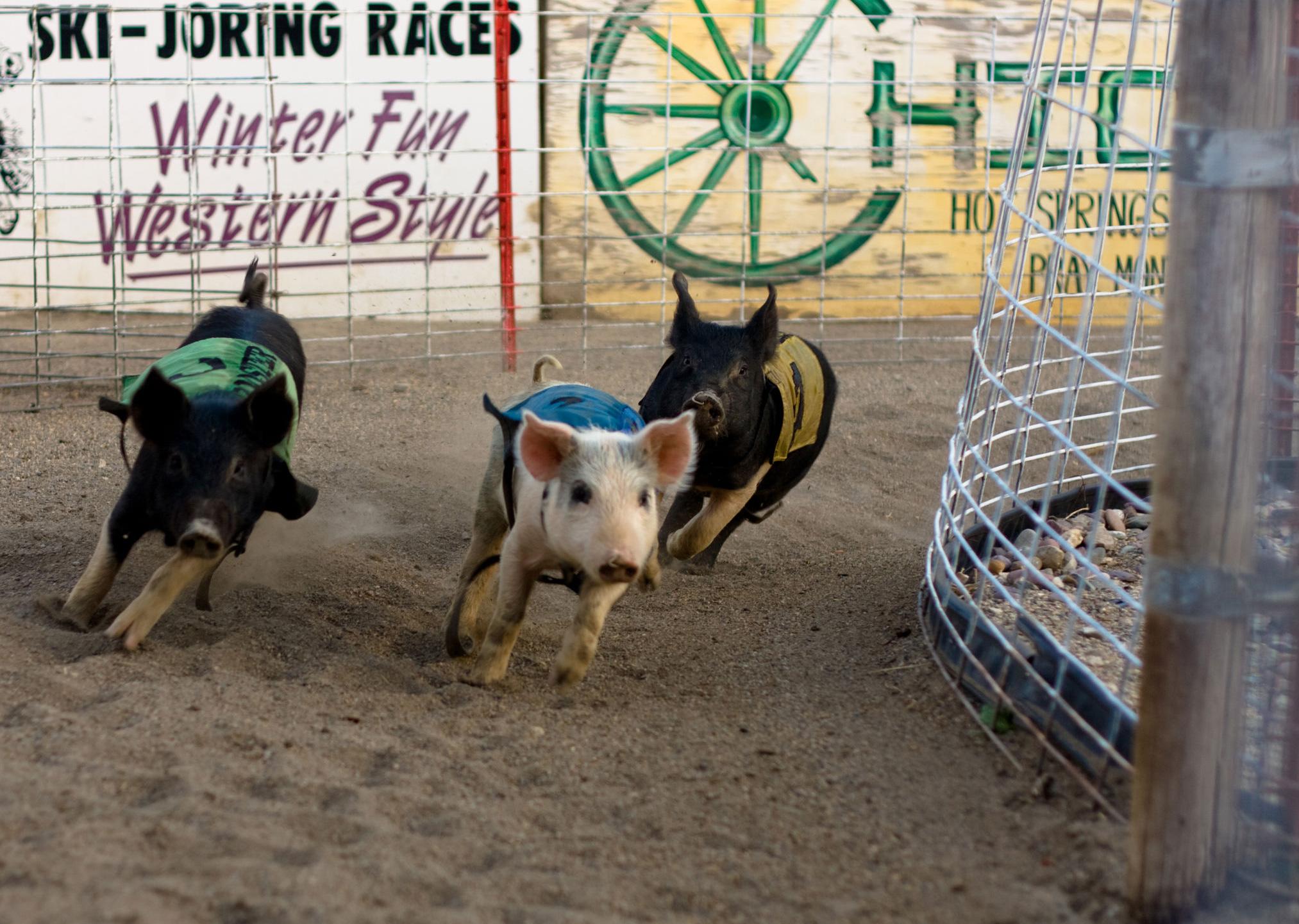 Pig Racing in Montana