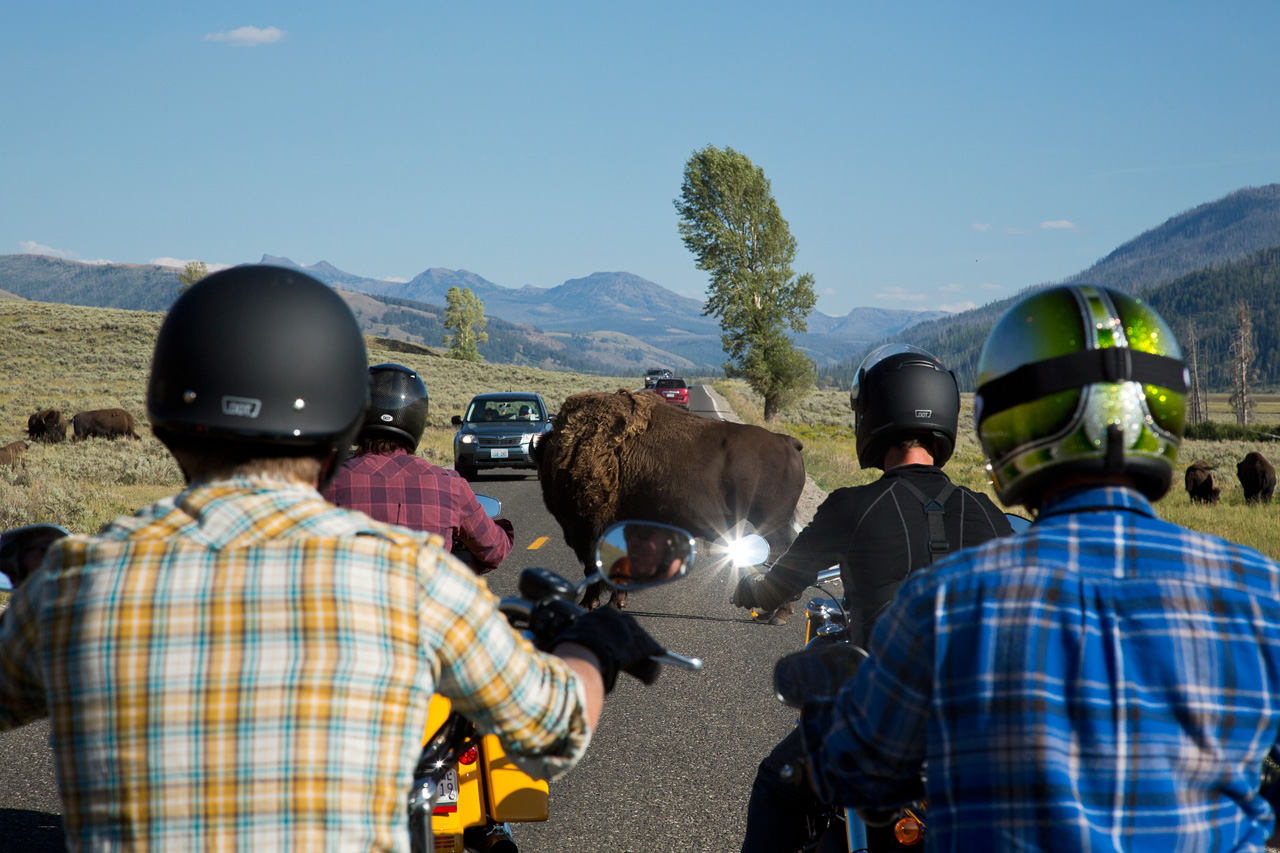 Up close with Buffalo in Yellowstone